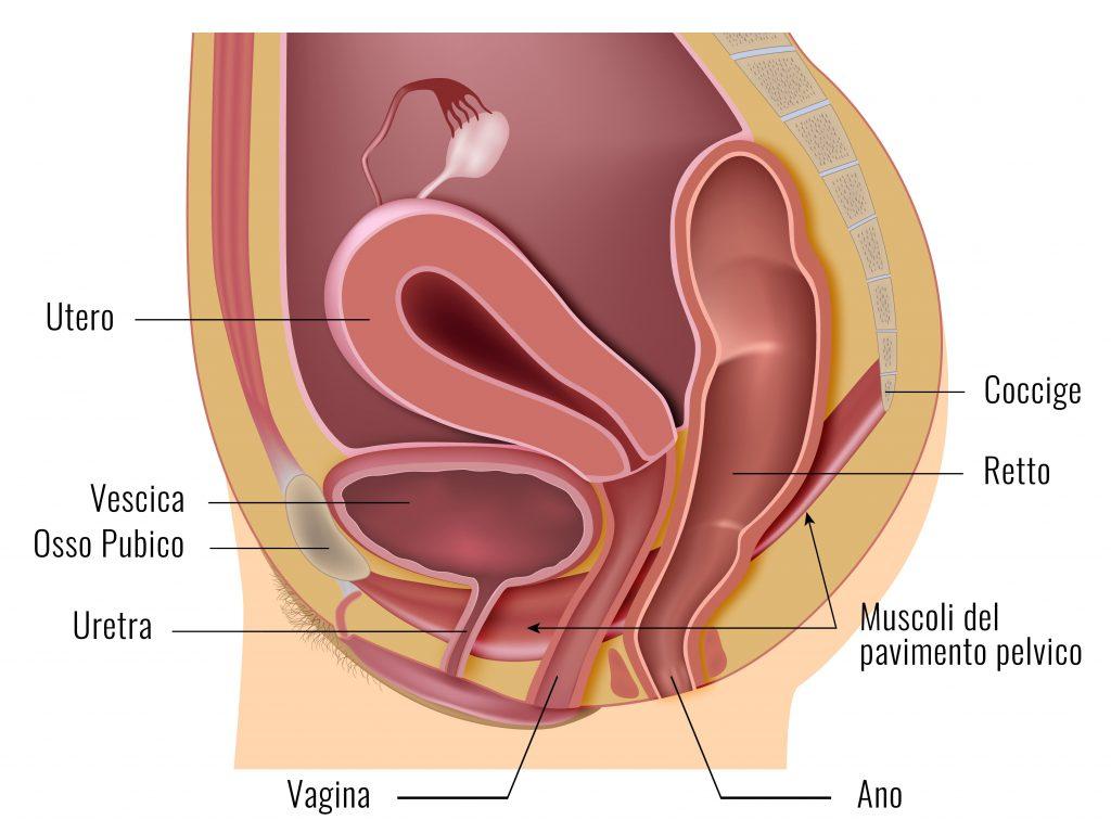 anatomia vagina